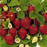 Strawberry Sunset from Ovation Teas - Custom Blend