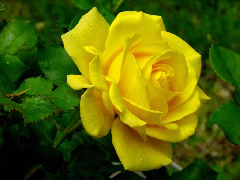 சென்ற வாரத்தில் அதிகம் பதிவிட்டவர்கள் பட்டியல் - Page 15 89Tce03XQFGvHMm12XiG+yellow-rose