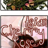 Asian Cherry Rose from The Ivy Keep