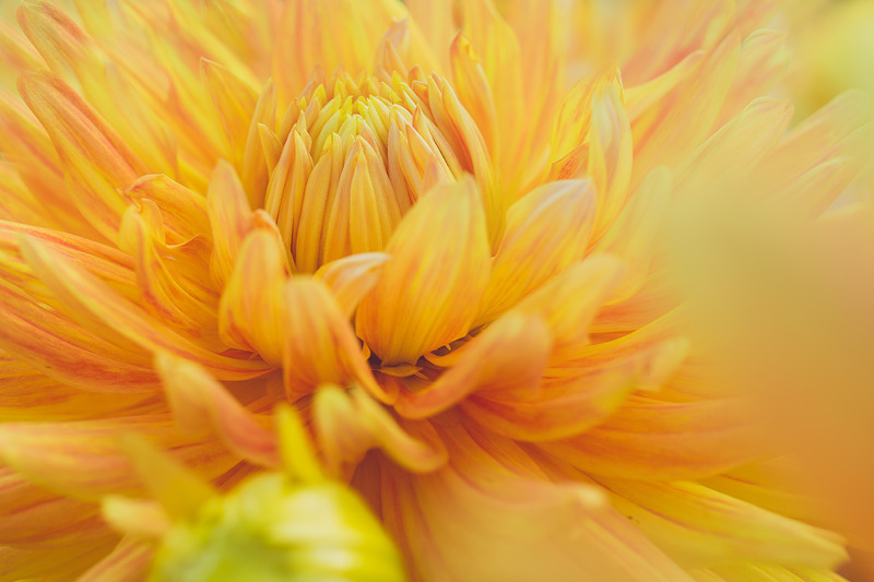 Blooming bright yellow dahlia with the words 30 Day Mindful Money Transformation.