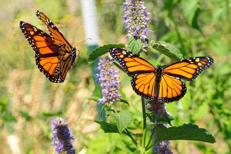 20140905 Bugs and Butterflies Monarch 6149jpg