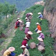 Light Roast Ti Kuan Yin / Spirit of Plum from Mingshan Tea