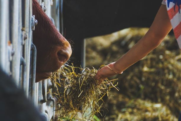 Right Feed and Fodder in dairy farms increase profits. Learn from experts in dairy farming