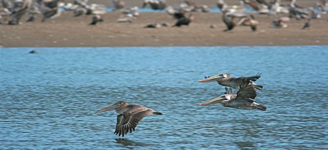 Pelicans at the mouth of the Bolinas Estuary