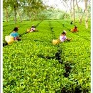 Assam Mangalam from Tea Composer