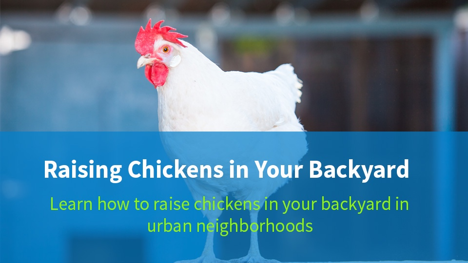 - Raising Backyard Chickens Getting Started With Chickens Raising