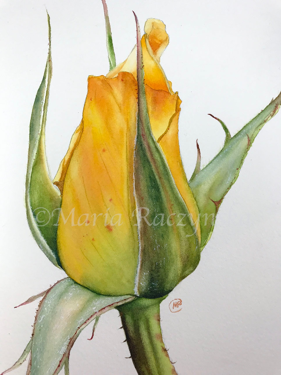 Watercolor Rose Maria Raczynska Watercolors