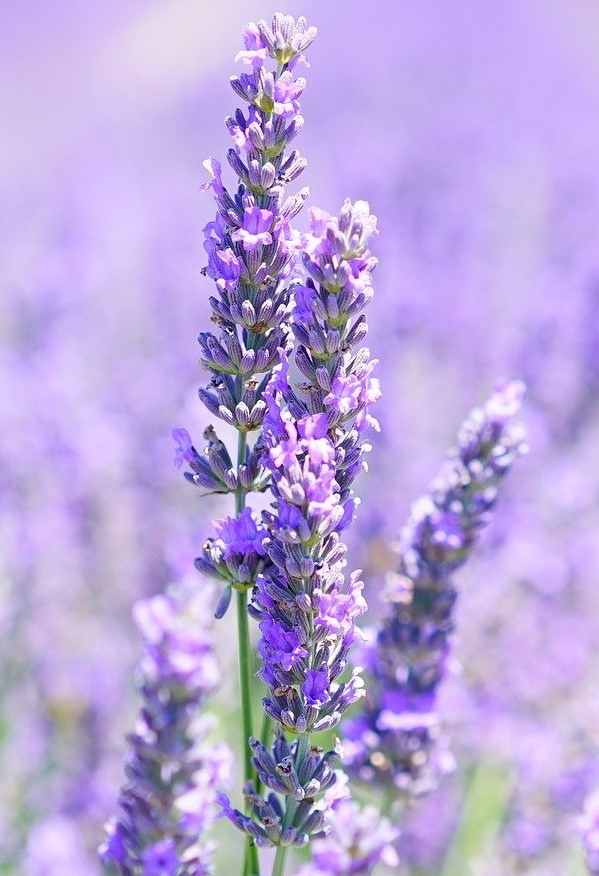 lavender aromatherapy ce course