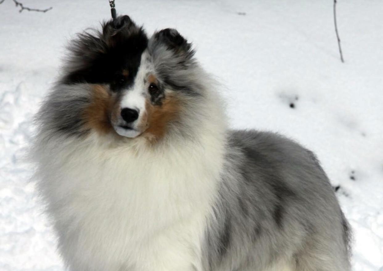 Sheltie 101 Leading Edge Dog Show Academy