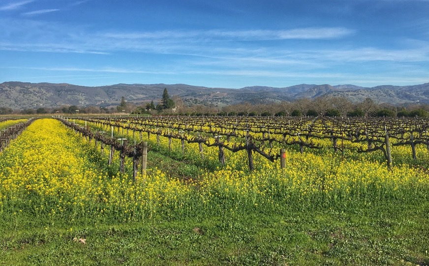 Vineyard with Mustard Flowers