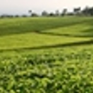 Royal Tea of Kenya, Rift Valley Green from Grey's Teas