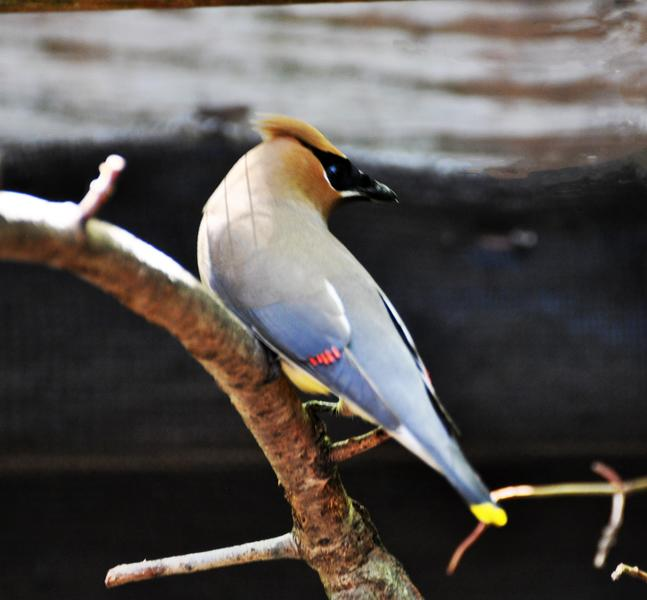 Cedar waxwing that could not flyjpg