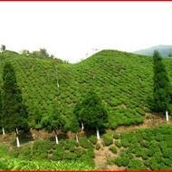Margaret's Hope 'Euphoria', First Flush Garden Darjeeling from Imperial Teas of Lincoln