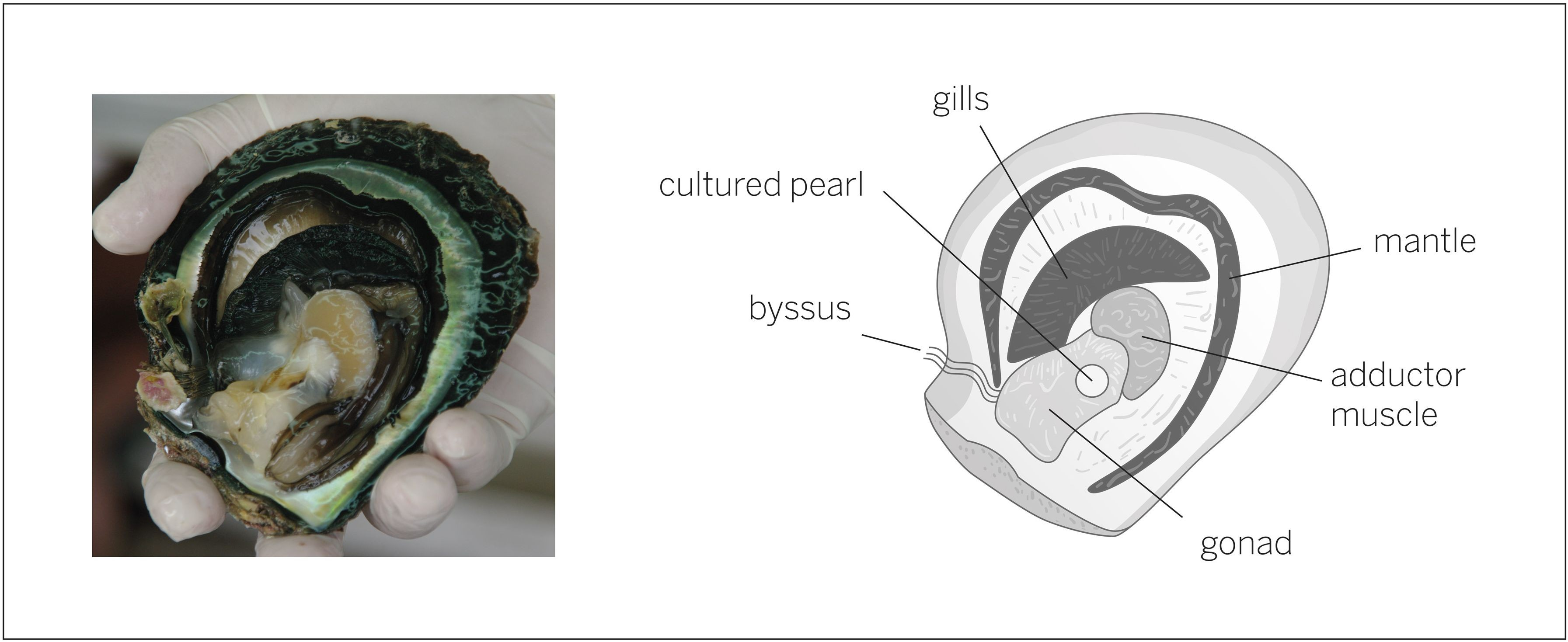Introduction to Cultured Pearls | Pearls As One -- Pearl Specialist