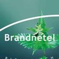 Brandnetel (String Nettle) from Piramide thee