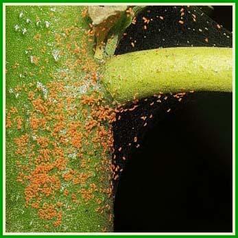 Araign es rouges bananier et des milliers de minuscules for Interieur paupiere inferieure rouge