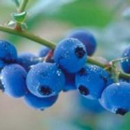 Blueberry Fling from Custom-Adagio Teas