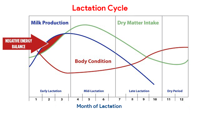 Lactation Cycle of dairy animals