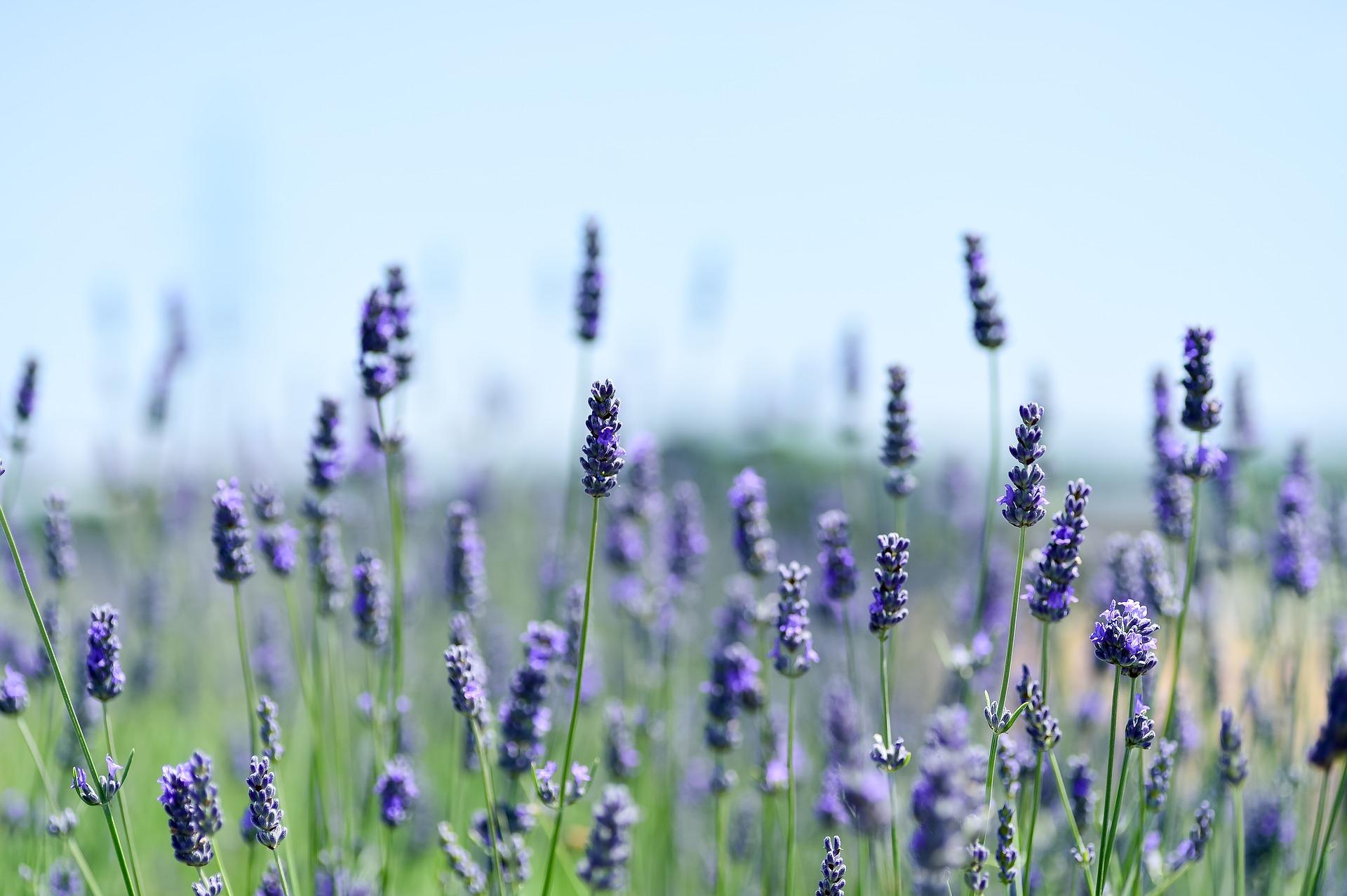 lavender aromatherapy ce course for nurses